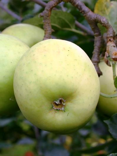 cox orange appelboom