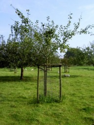 appelboom Sterappel